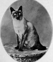 Where did the Siamese cat originate from?
