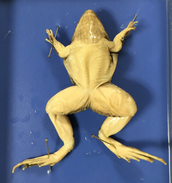 Ventral View of the frog (underside)