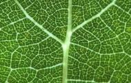 The leaf`s vein
