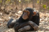 Chimpanzees are like human and share 98% of our DNA