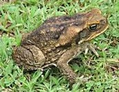 How Can I Identify the Cane Toad?