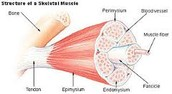 Microscopic muscle structuce