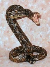 Rattlesnake 101 (K-12)