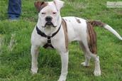 amrecan bulldog