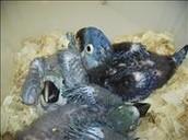 !Baby Hyacinth Macaws!