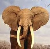 9 - El elefante