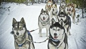 Sled dogs dashing through the snow!