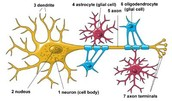 The glia