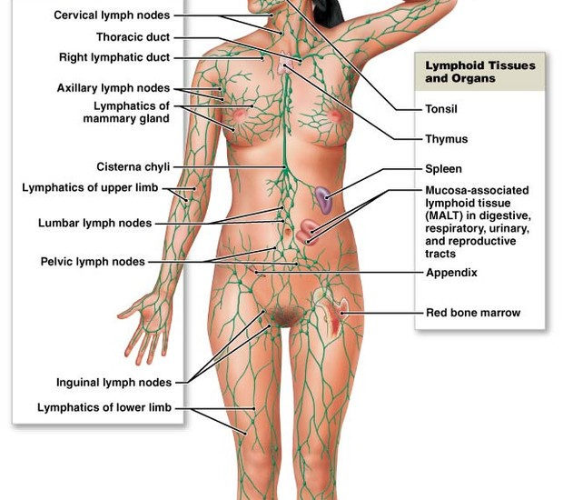 Lymphatic System 1 Smore Newsletters For Education