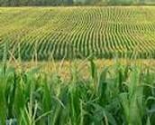 Corn fields for food
