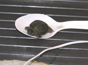 tiny turtle on a spoon