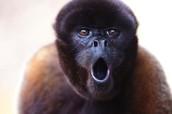 Wooly monkey/Mono lanudo