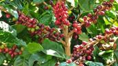 海地咖啡的歷史