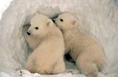 Cool facts about polar bears