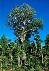 Big Leaf Mahogany (Swietena Macophylla)