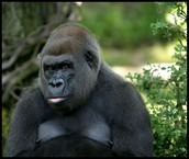 Help  save  the  gorilla to live!