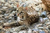 ocelots are cats