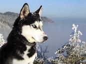 http://wallpaperlepi.com/wp-content/uploads/2014/08/Black-Siberian-Husky-Wallpaper-PC.jpg