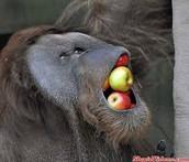 The Orangutan's Diet