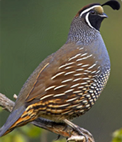 California's State Bird