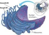 Smooth and rough Endoplasmic Reticulum