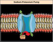 Potassium in cells