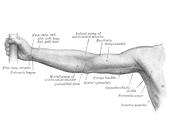 הגפיים העליונות