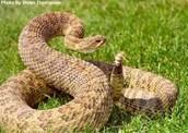 Paririe Rattlesnake