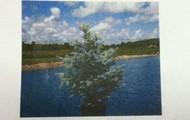 Live Blue Spruce