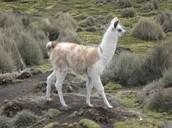 A walking llama