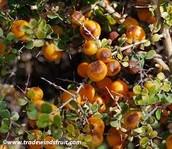 Citriobatus pauciflorus (OrangeThorn)