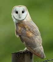 What You Need to Know About These Owls