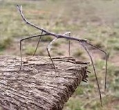 Stick Bug Information