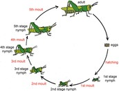 Life Cycle of Grasshopper