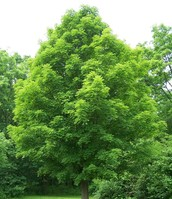 New York state:tree