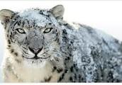 SNOW LEOPARD DESCRIPTION