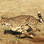 facts about cheetahs speed