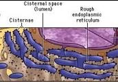 Endoplasmic Reticulum ( Both )
