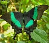 La mariposa blanca y verde