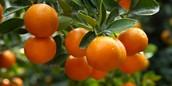 Niz akcija prodaje mandarina