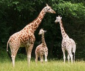 What will happen if giraffes end up with shorter necks?