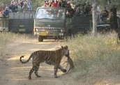 Tiger visited by humans