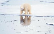 poar bear thinking that he will drown if he try's to swim across