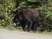 This bear is searching for food by a highway