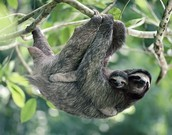 One of my faves - sloths!