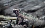 Sneezing Marine Iguana