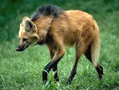 Maned Wolf Attacking position