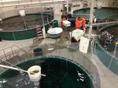 Tanks holding live Arctic Char