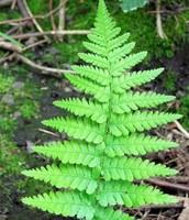 Seed leaves