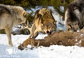 Fat Wolves